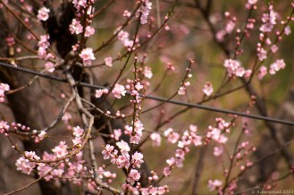 Cherry blossoms, common sight all over Thimpu and Paro